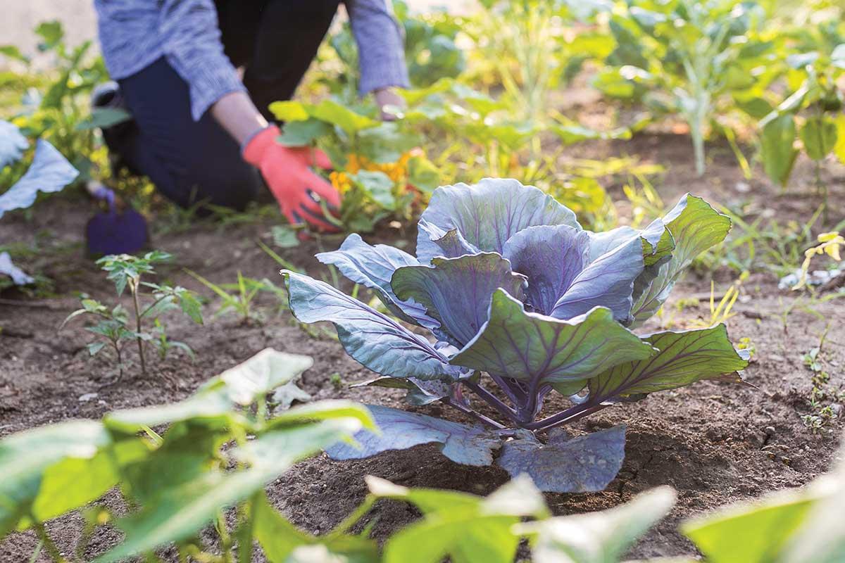 Grow your own veggies   Westerwood